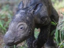 Dicerorhinus sumatrensis, nosorožec sumatriansky, Way Kambas, Lampung, Sumatra