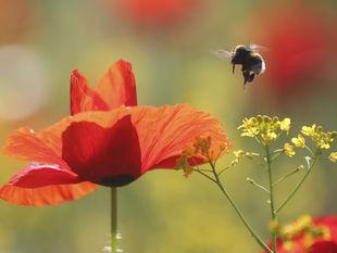 červený mak, vlčí mak, včela, lúka, kvet, hmyz, tráva