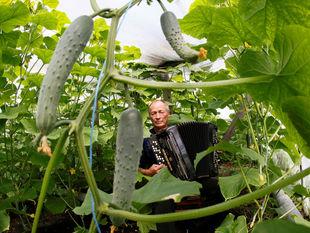 uhorky, rastliny, harmonika, pestovanie