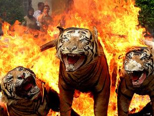 tigre, vypchaté, kože,