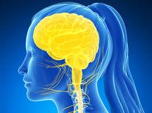 hlava, mozog, žena