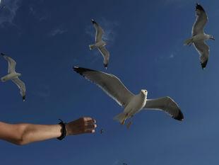 čajky, kŕmenie, vtáky, obloha