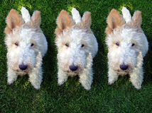 psy, klonovanie, klony