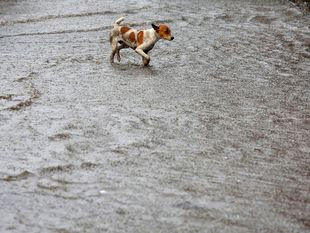 pes, dážď, India, počasie