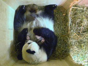 panda, mláďatá