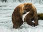 Lososy, medveď