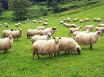 ovce, tráva, pasenie,