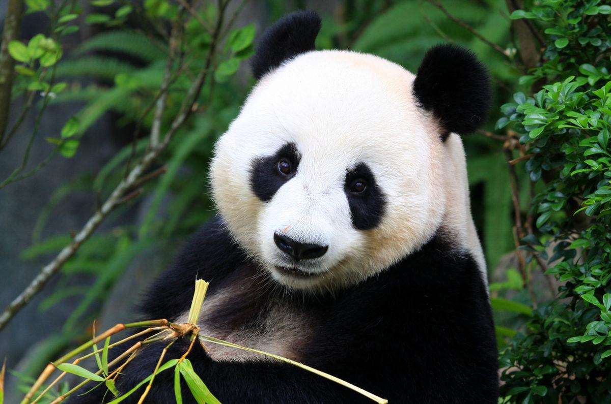 Panda veľká (Ailuropoda melanoleuca).