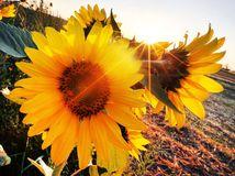 slnečnice, kvety, slnko, leto,