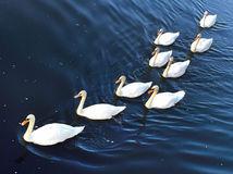 labute, vtáky, plávanie