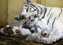 bengálsky tiger, mláďa