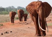 slony, Afrika