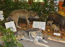 vlk, výstava