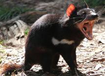 tasmánsky diabol, vačkovec