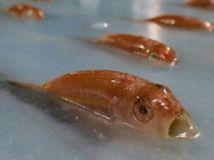 NEPOUZIVAT, Space-world, zmrazené ryby