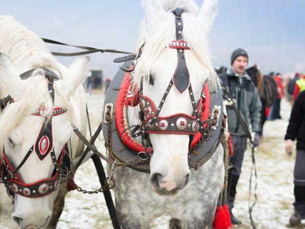 Tento rok sa prihlásil rekordný počet 30 párov, teda 60 koní a diváci sa majú na čo tešiť.