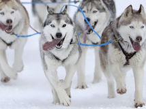 husky, psy, psie záprahy, záprah, sane, hasky, zima, sneh, mráz, preteky