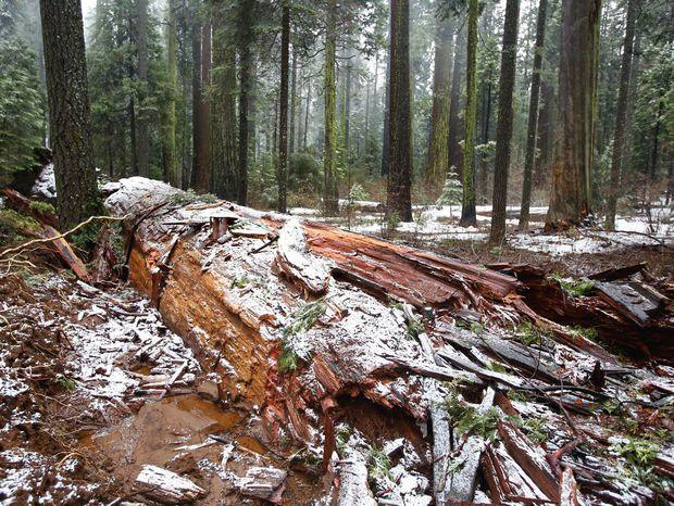 Pri silnom vetre spadla v národnom parku Calaveras aj slávna sekvoja.