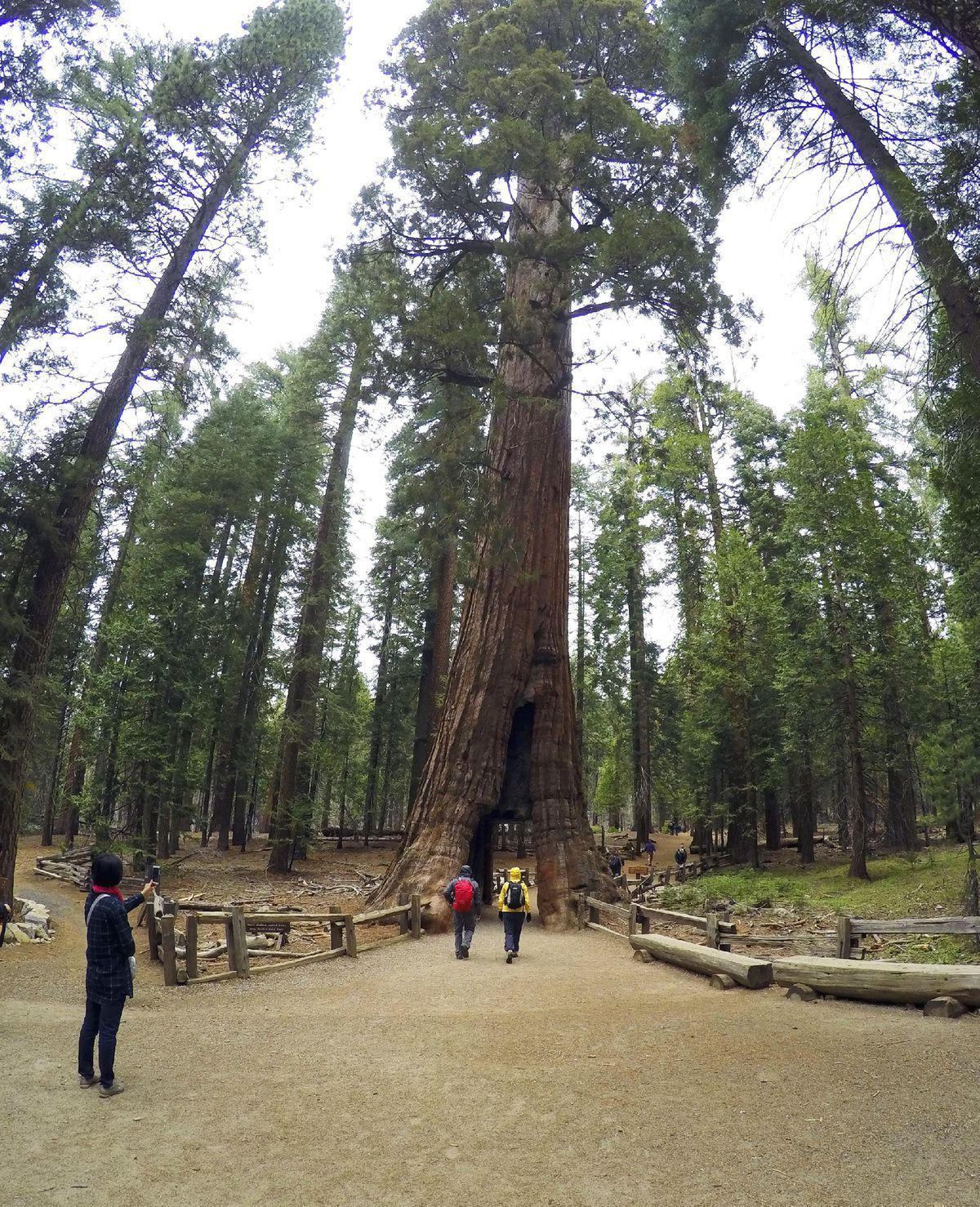 Strom, do kmeňa ktorého bol vyrezaný tunel, bol rovnako ako ďalšie sekvoje v parku v pohorí Sierra Nevada veľkou turistickou atrakciou.