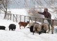 farma, zvieratá, počasie, sneh, zima, farmár