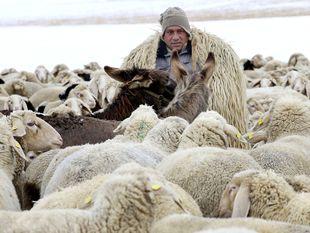 pastier, ovce, osly, zvieratá, kozy, stádo