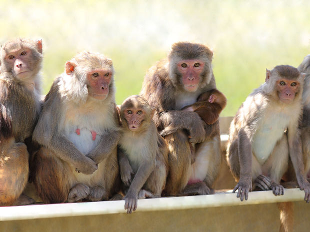 makaky, opice