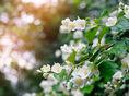 Jazmín patrí medzi vzácne ingrediencie v parfumoch.
