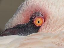 oko, vták, plameniak, pierka