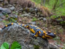 salamandra, dna, regenerácia, gény