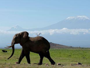 slon, Keňa, Kilimandžáro