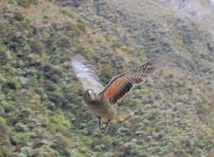 nestor kea, papagáj