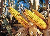 GMO kukurica