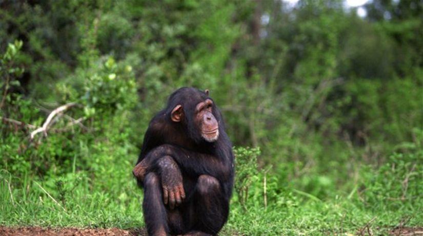 šimpanz opica