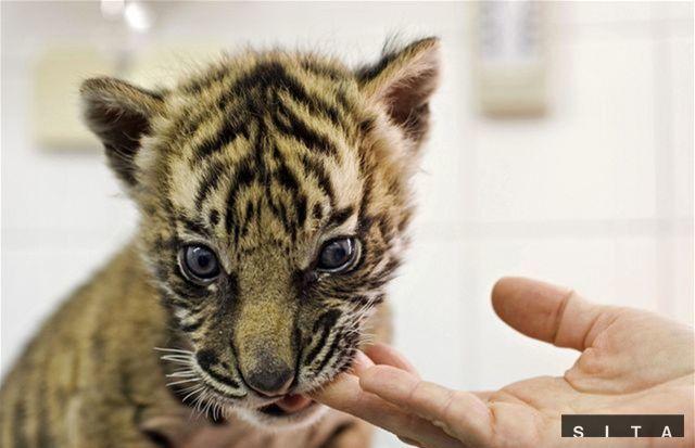 Tiger sibírsky alebo ussurijský je národným zvieraťom: