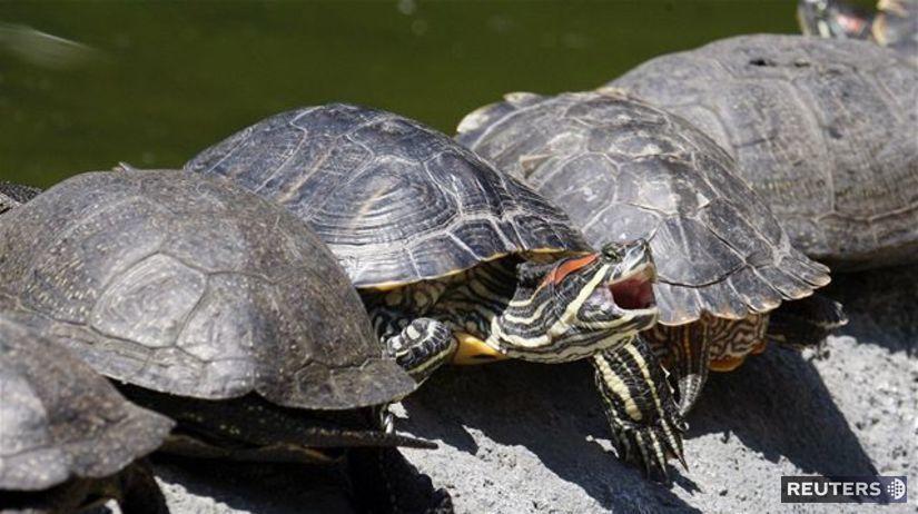 korytnačky, korytnačka