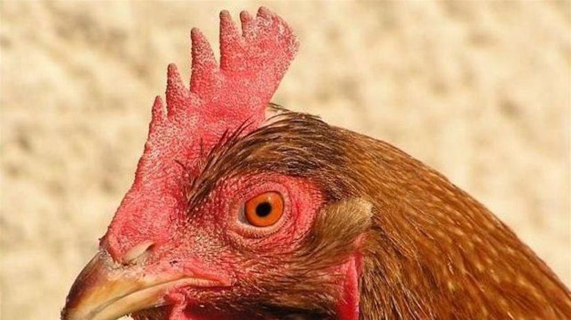sliepka, kura, kurča