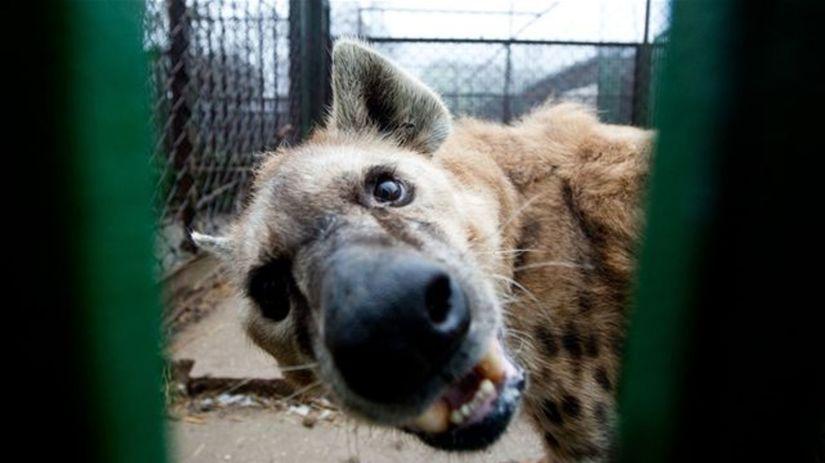 Hyena Bendži
