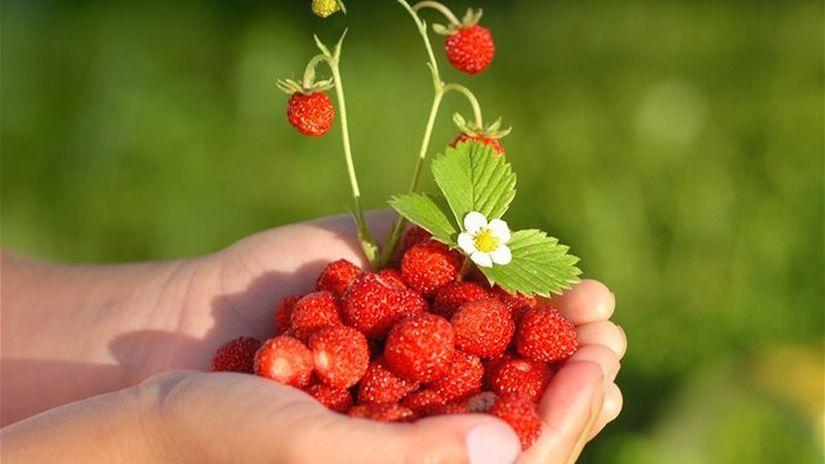 jahody, dlaň, ovocie