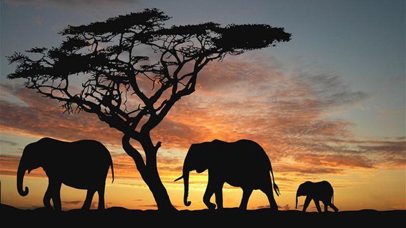 Slon, elefant, Afrika