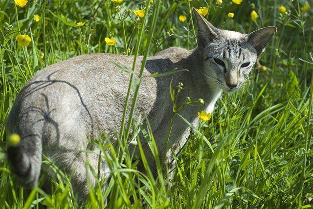 Ako si vybrať vhodnú mačku  - Zvieratá a rastliny - Mozgovňa - Pravda.sk b8f492c6cb9