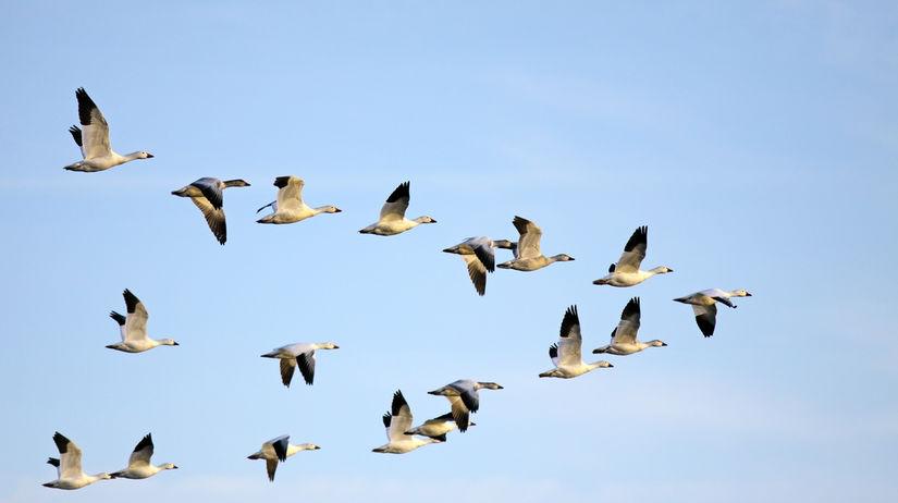 vtáky, vtáci, sťahovanie, teplé krajiny, hus