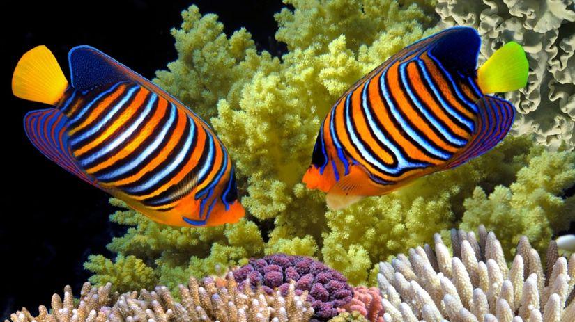 koraly 1