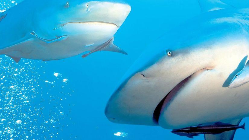 žralok belavý, belasý, žralok modrý