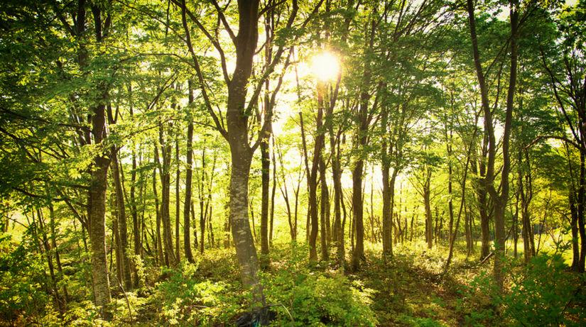 buk, bukový les, les