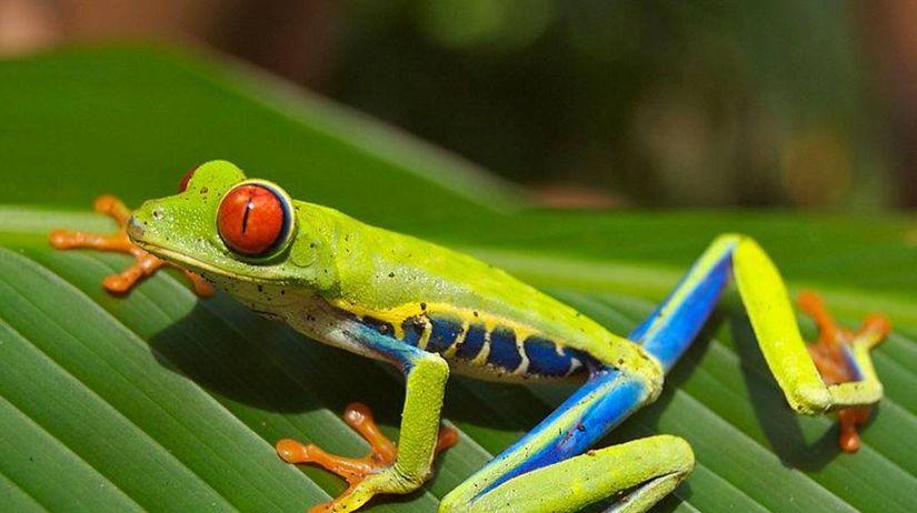Listovnica červenooká, žaba