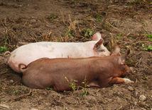 prasa, sviňa, ošípané
