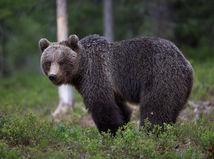 Muža na Liptove zabil medveď, dedinčania sa boja ísť do lesa