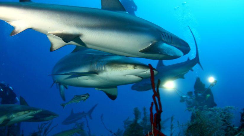 potápanie, žralok