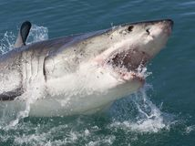 žralok, more