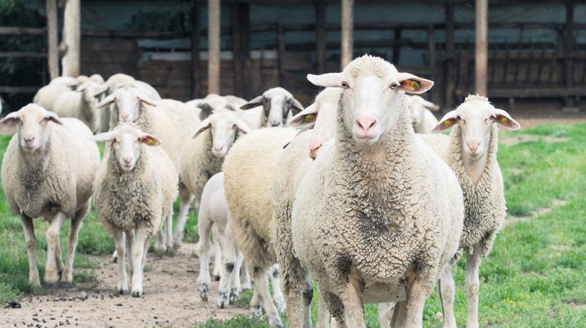 ovca, ovce,